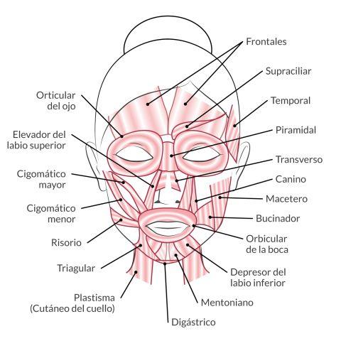 musculos faciales - Cerca con Google