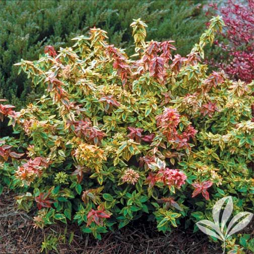 "Flowering Shrub Abelia x grandiflora 'Kaleidoscope' Size: 3 Gallon Regular Price: 39.88 Sale Price: 29.88 Code: 1004-3   Exposure:     Sun to Part Shade  Dimensions:   24-36"" H x 24-36"" W   Water:      Water regularly until established   Blooms:     White bloooms Mid summer to early Fall   Fertilizer:   …"
