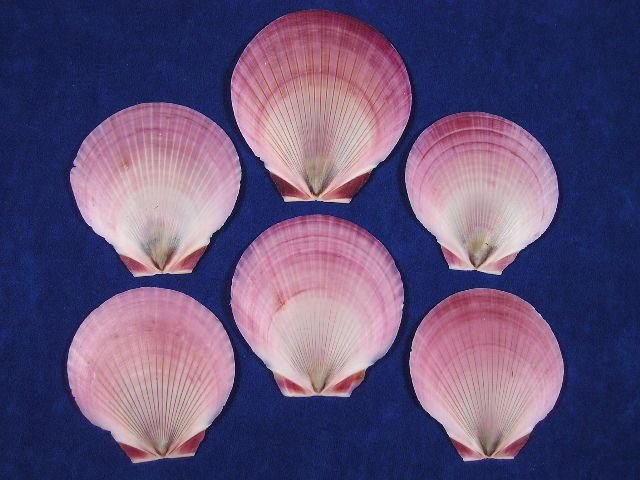 Red Purple Moon sun seashells are very thin scallops.  The top colorful sides of these seashells are smooth and the bottom sides are white with ridges.   AKA: Japanese Moon Scallop