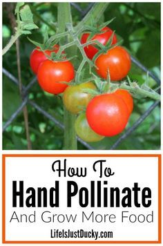 How to hand pollinate and grow more food in your garden. Learn the parts of the flower and be your own bee. Increase your garden yields with hand pollination. What is pollination and why do you need to do it? On your homestead and organic vegetable garden, try it on your tomatoes, corn, strawberries, peppers, squash, melons, cucumbers and so much more.