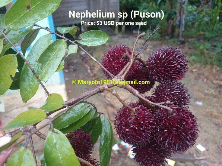 Puson (Nephelium sp). Extremely rare. Beautiful shape of nephelium sp
