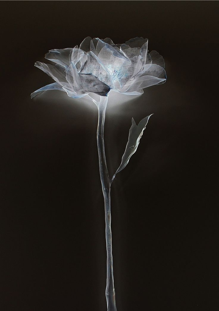 Ghost Edition - Single peony A2 size
