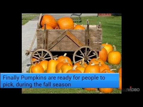 How a Pumpkin Grows - video