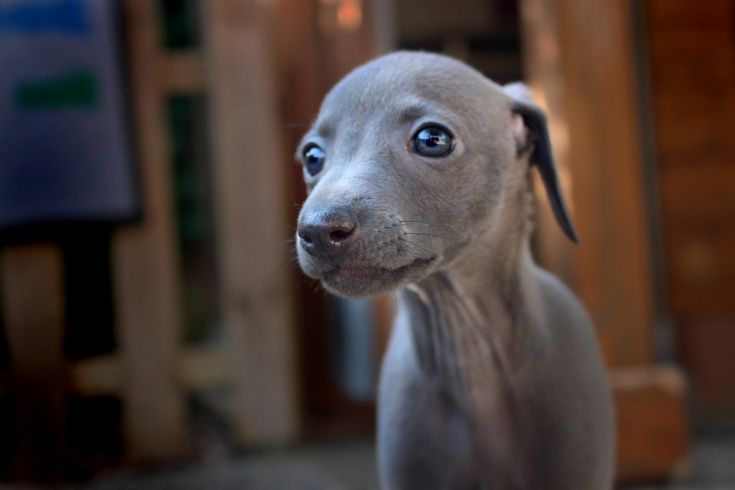 italian greyhound piccolo levriero italiano | by superfagiolino