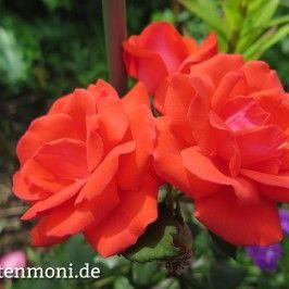 Blattläuse an Rosen,Gemüsepflanzen, Sträucher, Zimmerpflanzen