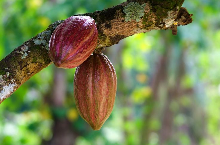 Côte d'Ivoire is one of the largest producers of cocoa in the world. Cocoa production accounts for almost two-thirds of the trade revenue coming into the country. #Africa #Chocolate #Agriculture #IvoryCoast