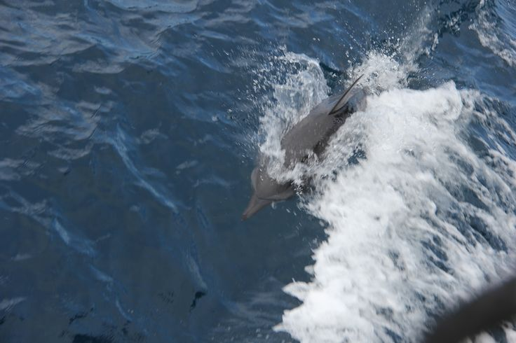 Dolphins off the Bow