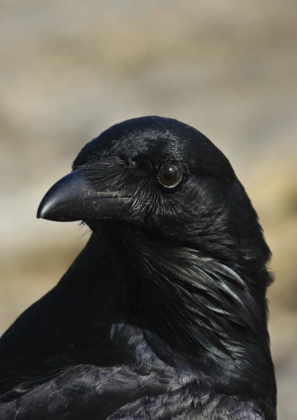 Question: Getting Rid of Crows