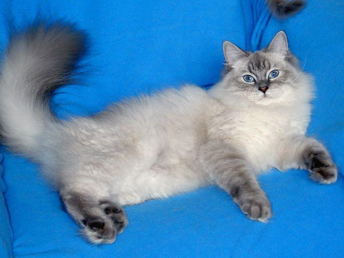 Невская маскарадная кошка Нарния Жемчуг Невы.