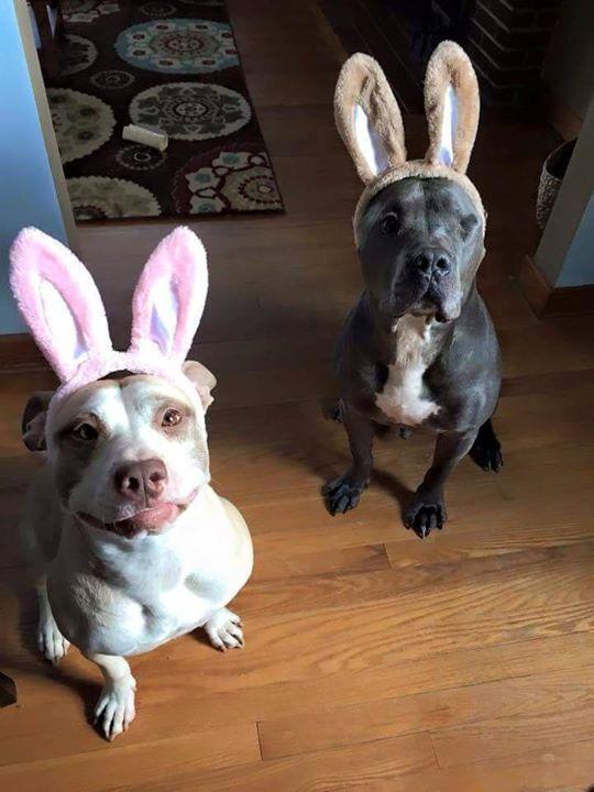 Boda de Perros Pitbull rescatados. Lo más dulce es como se conocieron... - PetDarling