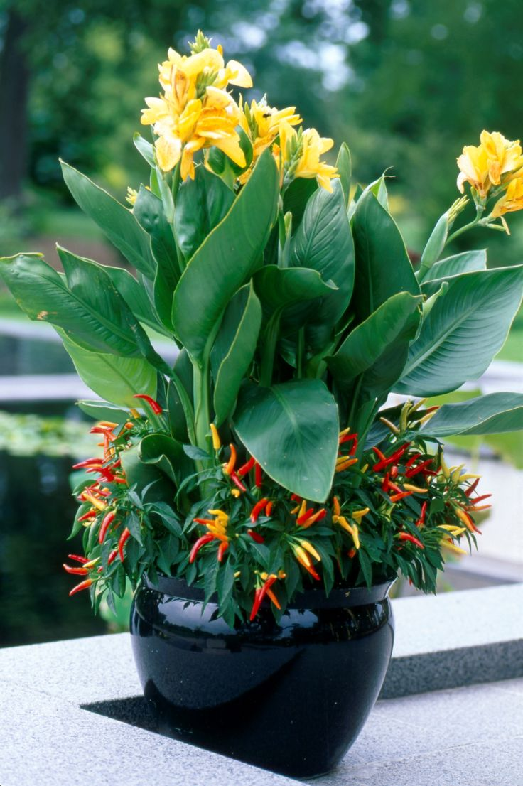 Give your garden a fiery pop with the Canna Pepper gardentrends Flower ContainersPlant