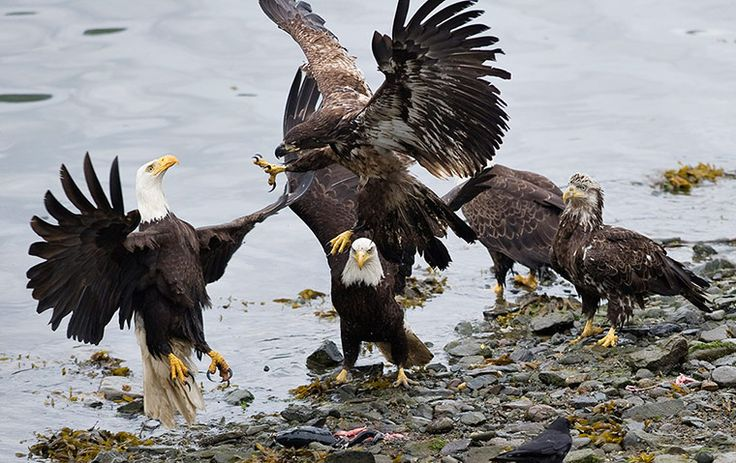 Adult and juvenile bald eagles fight over the remains of a salmon in Juneau, Alaska. Salmon returning to the nearby fish hatchery attract fishermen and wildlifePhotograph: Michael Penn/AP