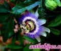 Πασσιφλόρα η Εξωτική (Passiflora Caerulea)