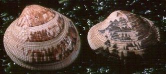 Butter Clam ( Saxidomus gigantea )