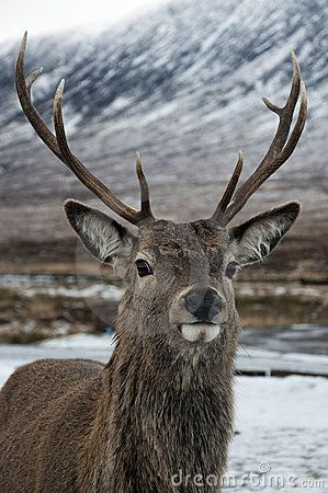 A stag close up in the snow in Glen Coe, Scotland