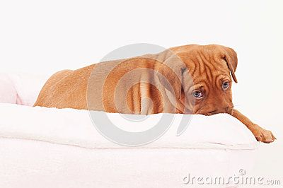 An african Rhodesian Ridgeback puppy is lying in a small pink dogbed. The puppy is looking straight into the camera while biting in the rim of the bed. The little dog is five weeks of age.