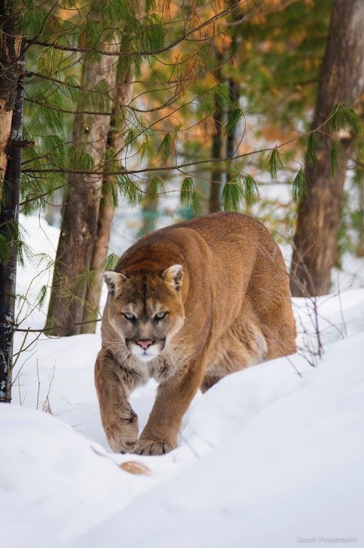 A Mountain Cat on His Way to Try His Luck in Hunting.