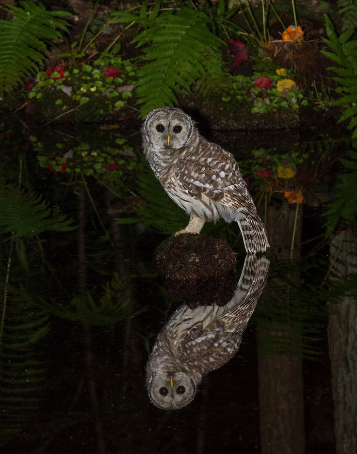 225 best images about bubo on pinterest shy guy long for What owls look like without feathers
