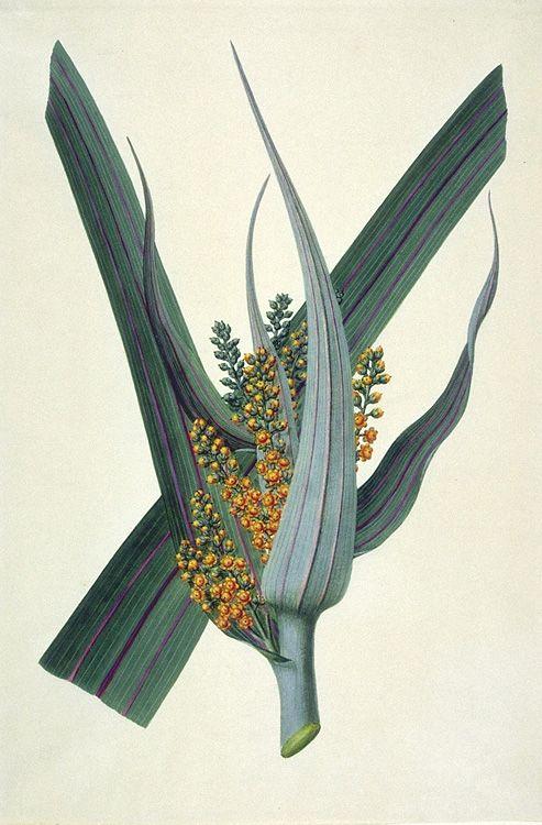 Sydney Parkinson - Botanical drawings