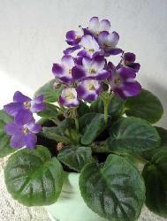 Plante d'intérieur très appréciée pour sa généreuse floraison colorée, le saintpaulia est surnommé violette africaine ou violette du Cap. Voici quelques conseils pratiques pour rempoter, entretenir et multiplier cette belle plante fleurie. par Audrey