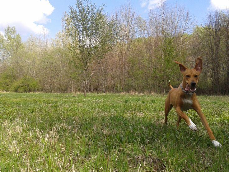 Mila Maygar Viszla/Schweißhund Mix | Pawshake
