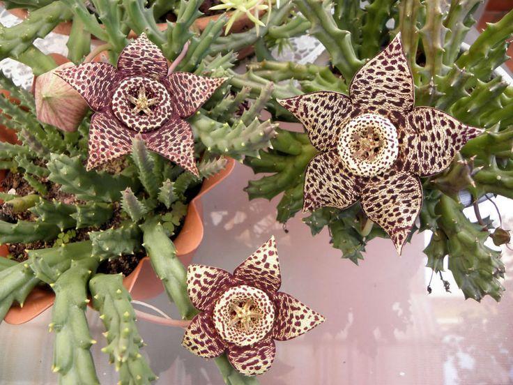 Orbea variegata (Stapelia variegata) - Starfish Plant Carrion Flower