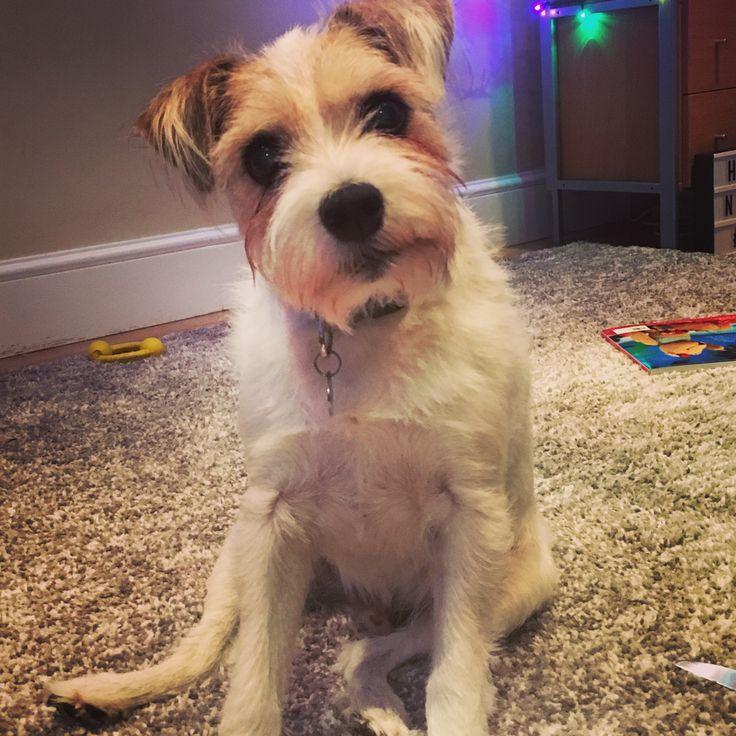 Vinnie Parson Russell Terrier