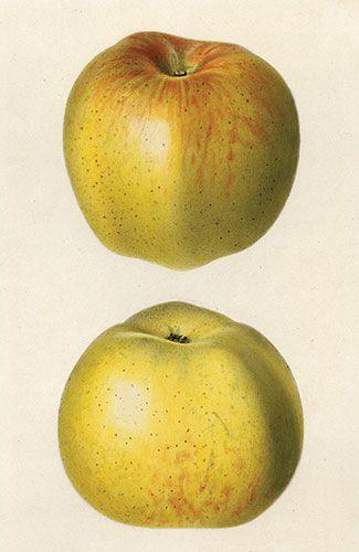 Яблоня, Зеленый Ньютаун Пиппин
