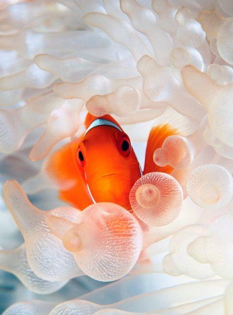 clownfish   photo by David Doubilet