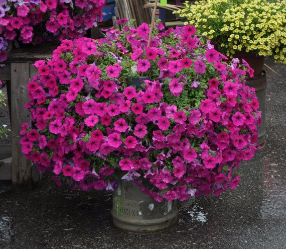 107 best images about wave petunias on pinterest - Wave petunias in containers ...