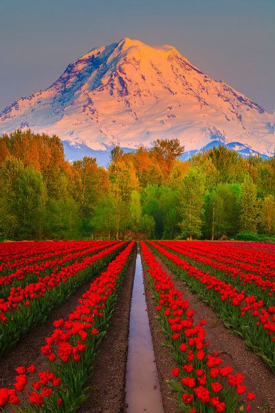 Bright red tulips bloom at the base of majestic Mt. Rainier just outside of Seattle, Washington.