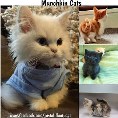 Just a lil fact!: Just a munchkin cats!