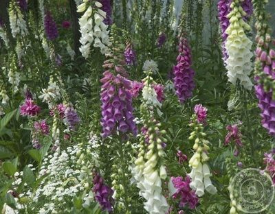 Foxgloves - beautiful and treacherous