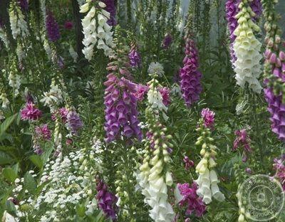 Foxgloves - beautiful and treacherous