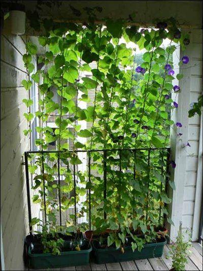 Para se proteger dos olhares , uma parede de plantas trepadeiras