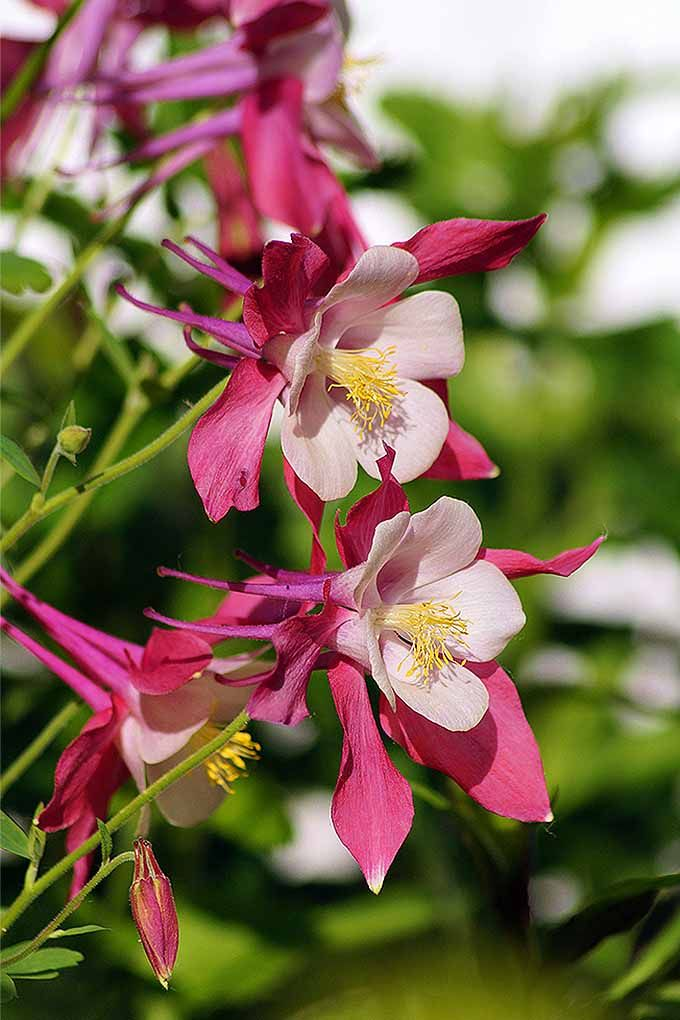 columbine flowers facts and growing tips the spruce - 680×1020