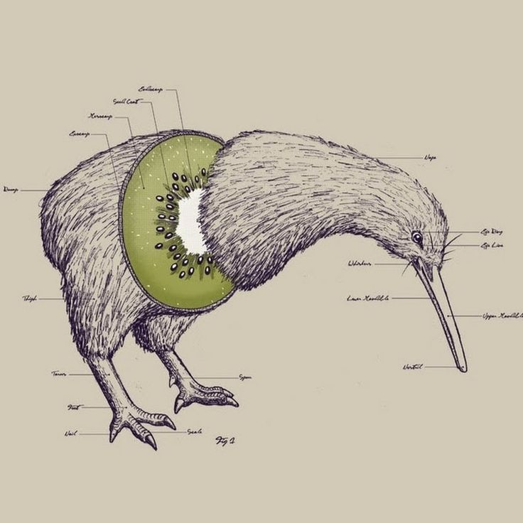 Kiwi Anatomy by Will McDonald