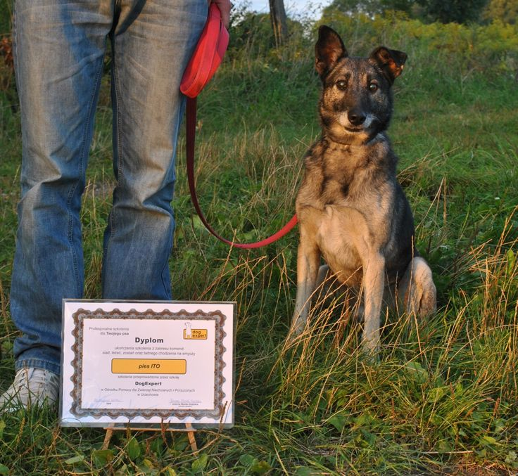 Ito - pies po szkoleniu czeka na dom! #psy #dogs #adopcje #adopt #shelter #kundelki #poland #pomoc #help #love #happyend #foster