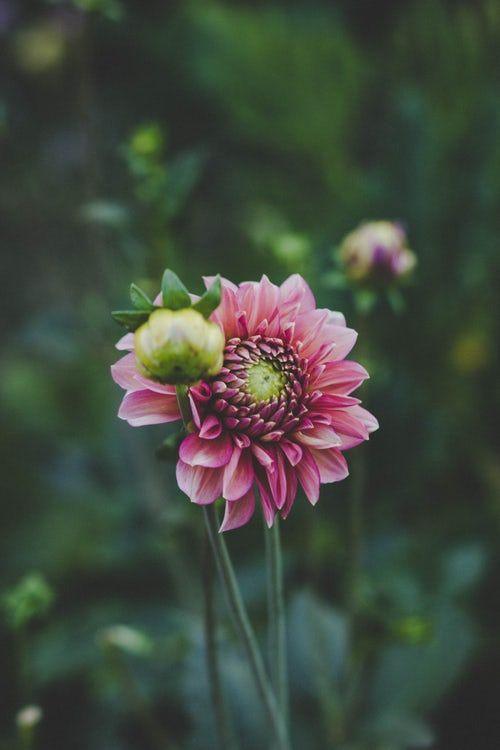 Selective Focus Photography Of Pink Dahlia Flower In Bloom With Images Colorful Garden Botanical Gardens Dahlia Flower