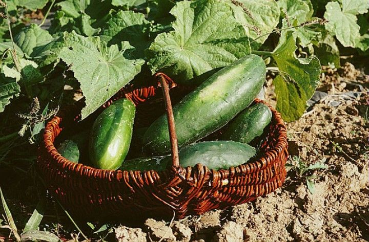 Cultiver concombres et cornichons - P. Asseray - Rustica