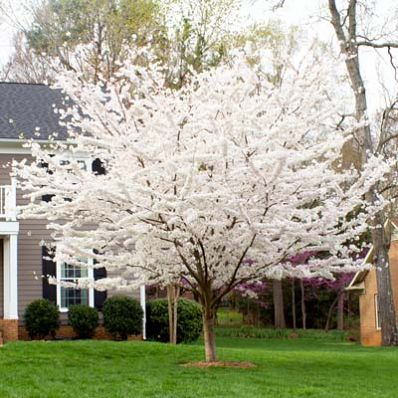 A blanket of spring blooms! - Welcome spring to your yard with an abundance of blooms!       A profusion of white flowers signals the end of chilly winter. Just when you're thinking winter will never end, your Yoshino Cherry welcomes the arrival of spring as it explodes into bloom!    Fragrant flowers are replaced by glossy...