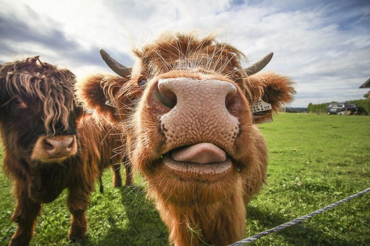 A hungry Highland Cow: taken in Salzburg, Austria | We Took Funny Animal Mugshots, Whilst Traveling Around The World | Bored Panda