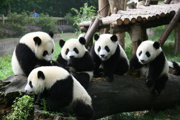 Amazing Wildlife 17 hrs    Facts About Pandas That Not Every Person Knows  Did you know that by the end of 2011 there were only 1,590 Giant Pandas in the Wild and 333 in captivity? Chengdu (China) Panda Base's goal is to return Pandas to the wild. A female adult Panda can begin to have babies at 5 years old. They generally have 1 or 2 babies at a time.... See More
