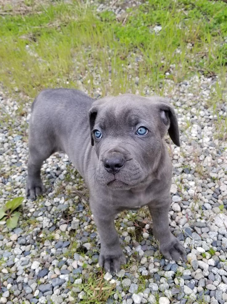 Our blue Cane Corso puppy Bane steals hearts. http://ift.tt/2rvK37L
