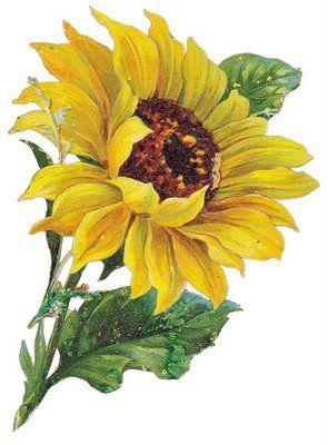 Vintage Sunflower reference  - printable design for logo I'm working on
