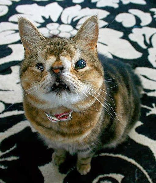 Picture of one of the ugliest cats in the world | Most ...