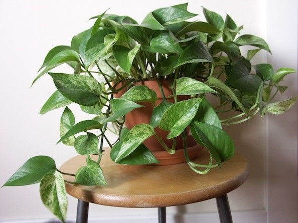 Golden Pothos Houseplant - low light in the middle of the backroom bookshelves. Another powerful plant for tackling formaldehyde, this fast-growing vine will create a cascade of green from a hanging basket. Consider it for your garage since car exhaust is filled with formaldehyde. (Bonus: Golden pothos, also know as devil's ivy, stays green even when kept in the dark.)