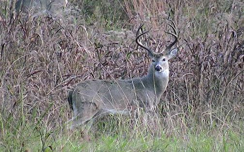 Quick News would like to wish everyone a safe and successful hunt.Be sure to send your photos to kyle@quicknewhavennews.com or via text to 636-359-1018!Try my recipes tonight with your fresh harvest!Deer Heart Recipe from Kaylin's KitchenServings: 2-3Ingredients:2 Tbsp. vegetable oil1 deer heart1 yellow onion, sliced into ringsSalt, pepper, and garlic salt to tasteDirections:Rinse heart in water until runs clear. Heat oil in large skillet. Remove large arteries and fat from heart, ...