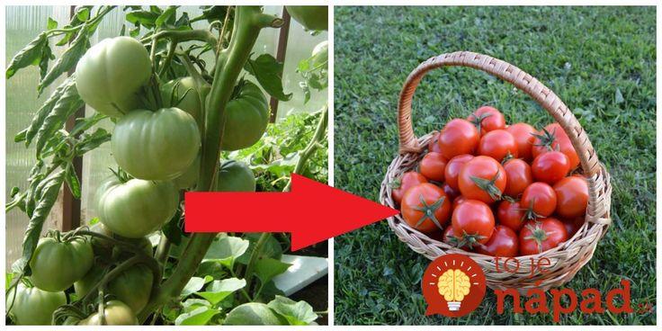 Každý rok mám na konci sezóny s rajčinami tento problém. Preto som pátral a vypátral starý trik, ktorý môže pomôcť aj vám.