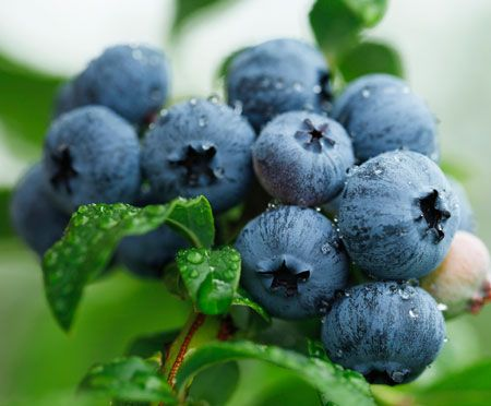 Sweetheart Blueberry Bush for Sale
